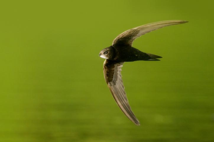 Guide Wildcare pour les nichoirs à oiseaux - Martinets noirs (Apus apus)